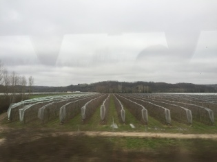 Grape fields.