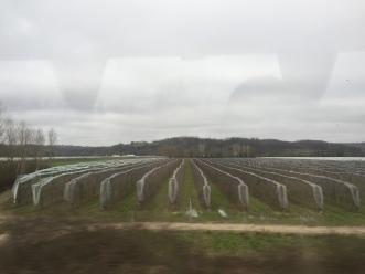Grape fields.