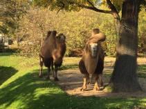 2 camels.