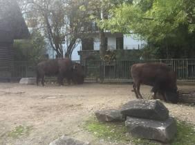 Big buffalo.