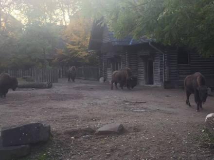 More buffaloes.